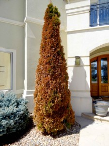 Sudden freeze injury Arborvitae late 2014 web
