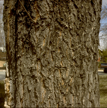 Ridged Furrowed Siberian Elm