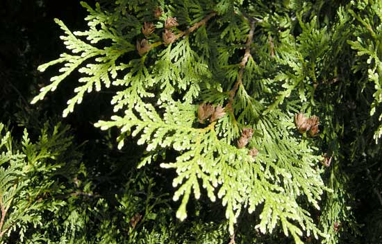 Arborvitae Foliage