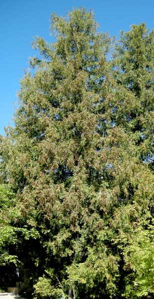 Arborvitae-web