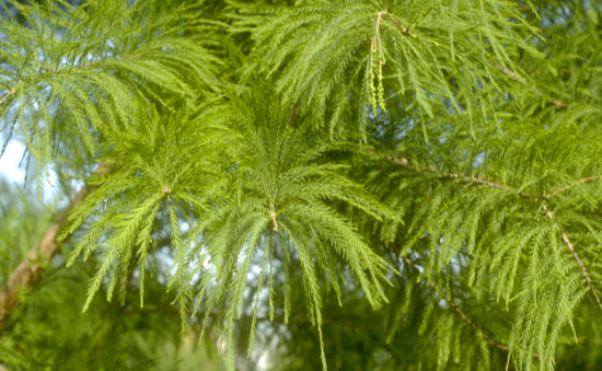 Bald Cypress Foliage