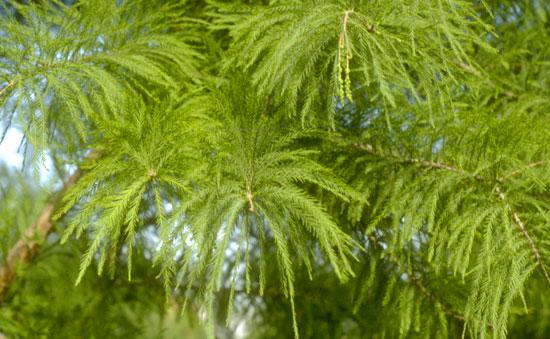 Bald Cypress Foliage