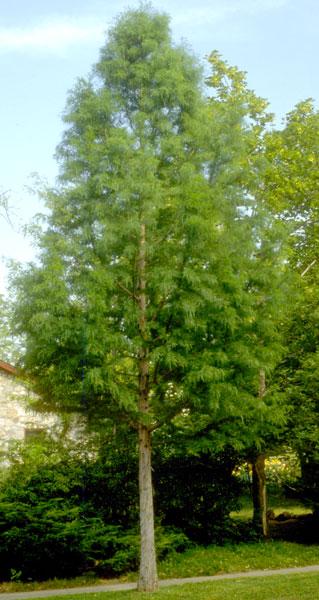 Cypress,-Bald-web