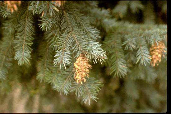 Douglas Fir Foliage & Cone