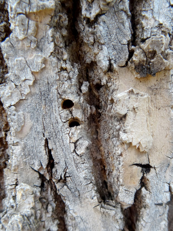 D-Shaped exit holes from emerald ash borer