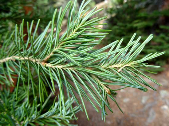Subalpine Fir Foliage