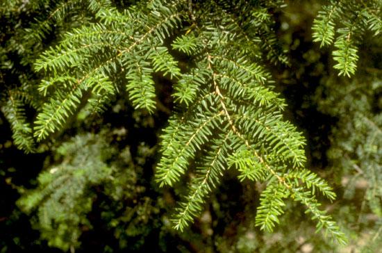 Hemlock Foliage