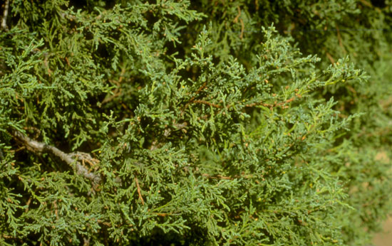 Juniper Foliage
