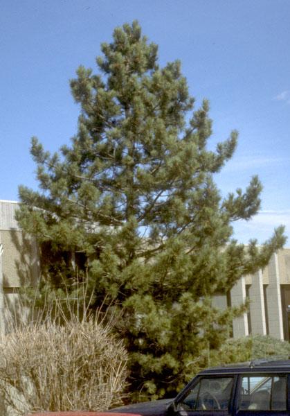 Pine,-Austrian-web