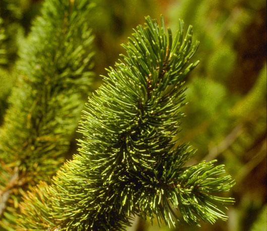 Bristlecone Pine Needles