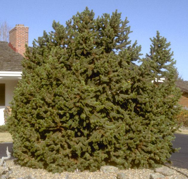 Pine,-Bristlecone-web