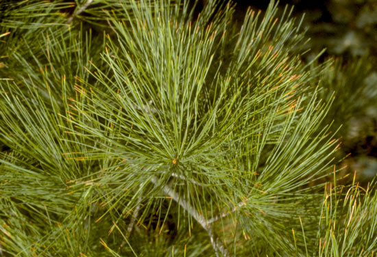 Eastern White Pine Foliage
