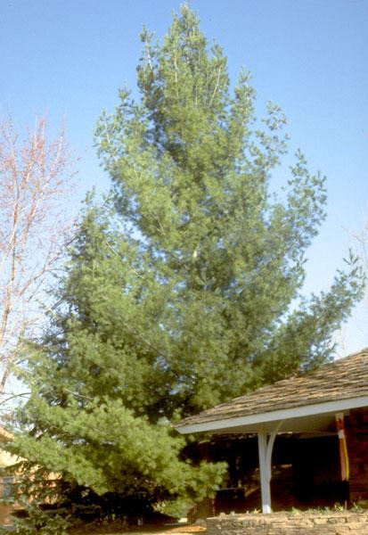 Pine,-Eastern-White-web