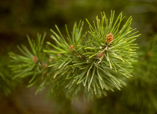 Lodgepole Pine Foliage