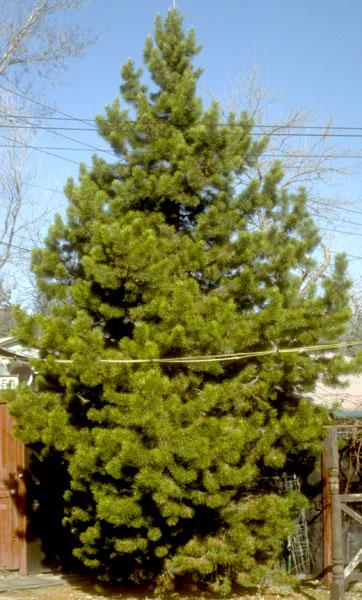 Pine,-Lodgepole-web