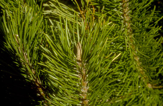 Mugho Pine Foliage
