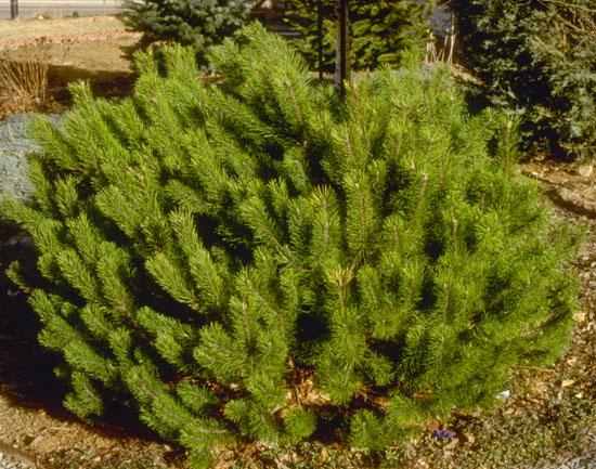 Pine,-Mugho-web
