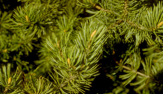 Pinyon Pine needles and bud