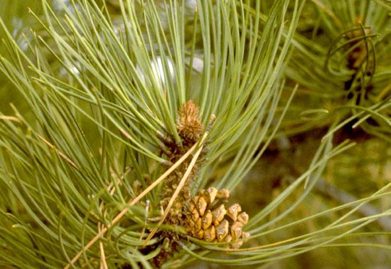 Ponderosa Pine bud