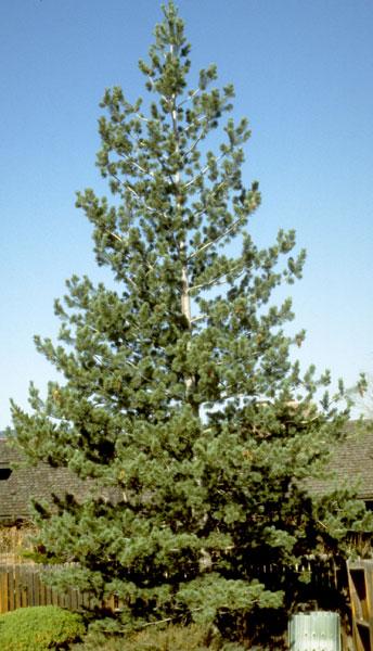 Pine,-SW-White-web