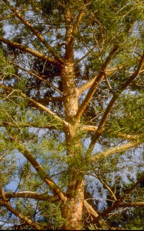 Scotch Pine Bark Color