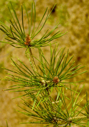 Scotch Pine Needles and Bud