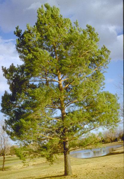 Pine,-Scotch-web