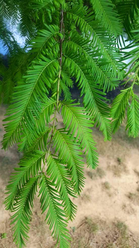Dawn Redwood Needles