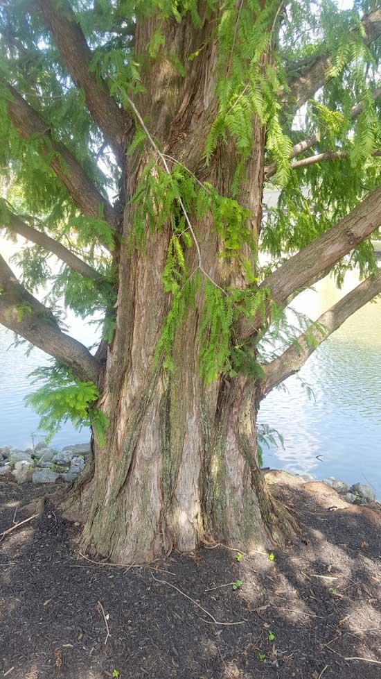 Dawn Redwood Trunk