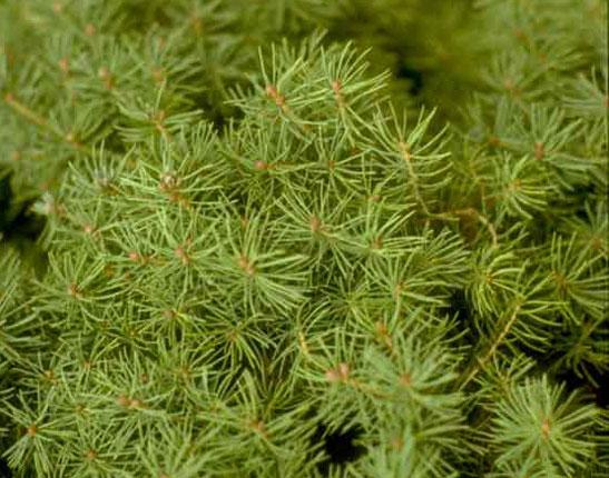 Alberta Spruce Foliage