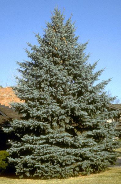 Spruce,-Colorado-Blue-web