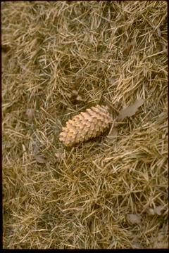Spruce-Cone-web