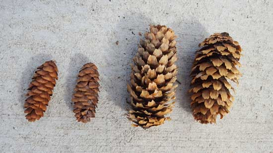 spruce-cones-blue-and-engleman-web