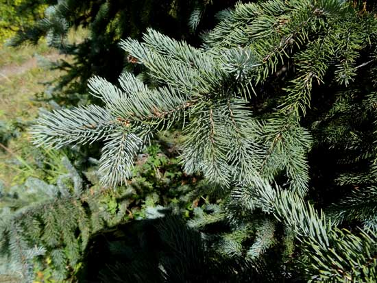Engelmann Spruce Needles