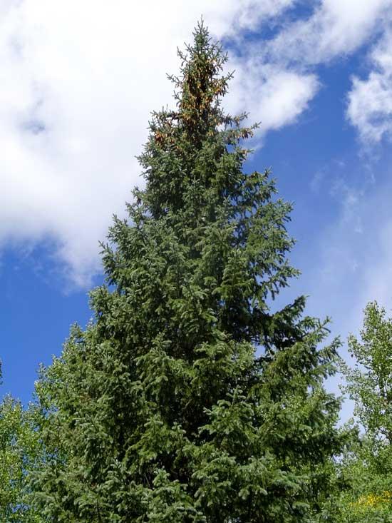 spruce-engleman-web