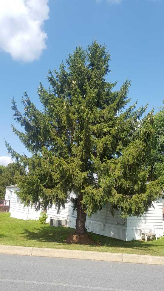 spruce-norway-web