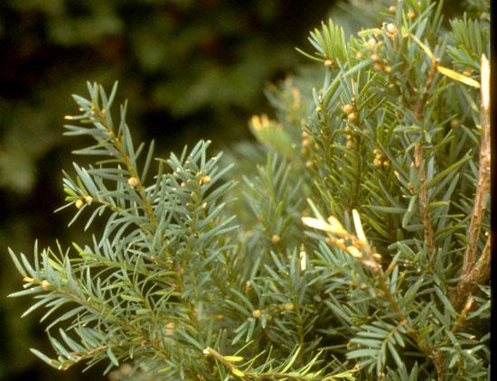 Yew Foliage