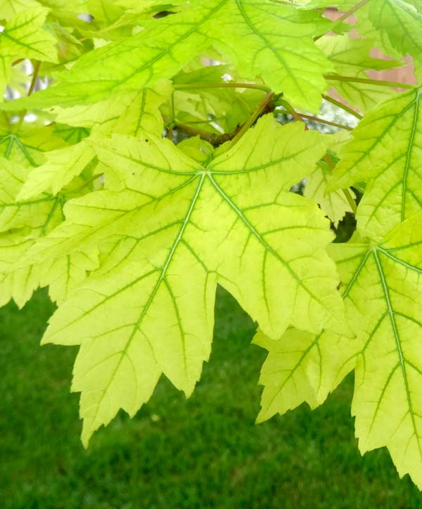 In trees with iron deficiency, the veins are often greener that the rest of the leaf.
