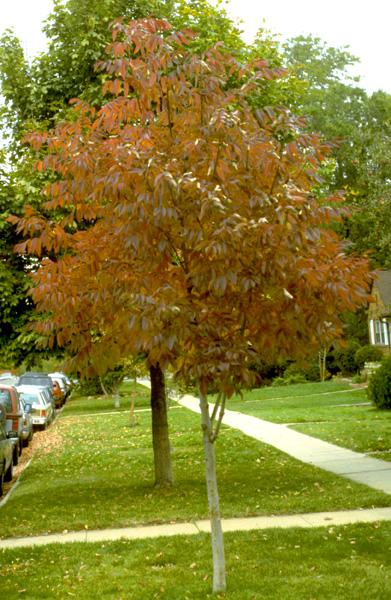 Ash Autumn Purple in the fall