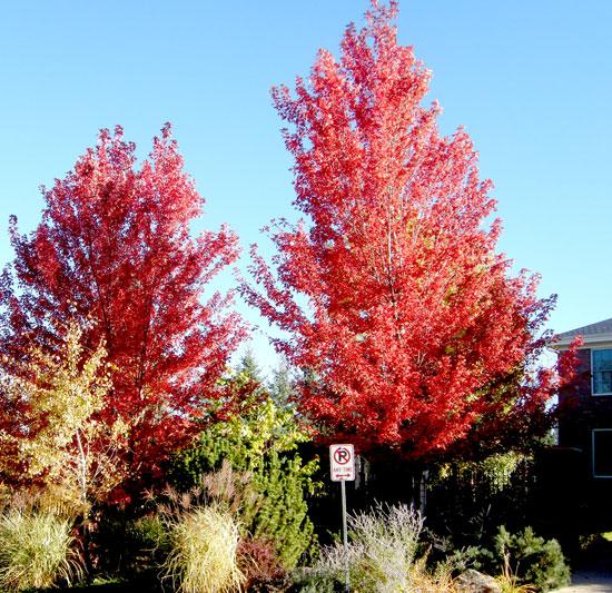 Autumn-Blaze-Maple-in-the-fall