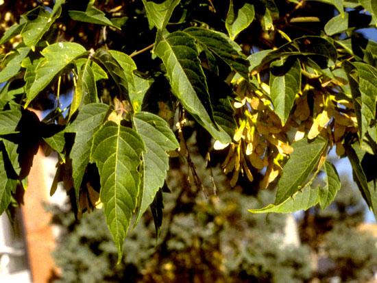 Boxelder,-Leaf