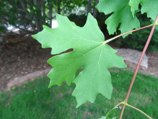 Maple,-Bigtooth-leaf