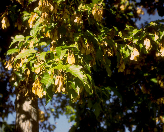 Maple,-Ginalla-leaf