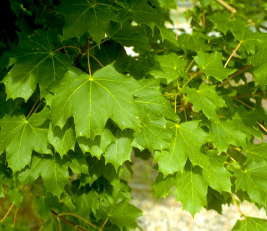 Maple,-Norway-Leaf
