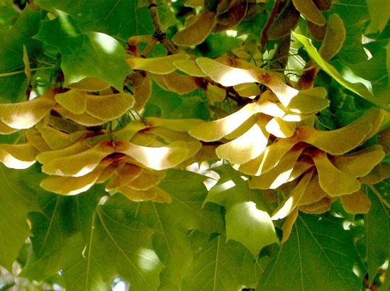 Maple,-Norway-Seeds