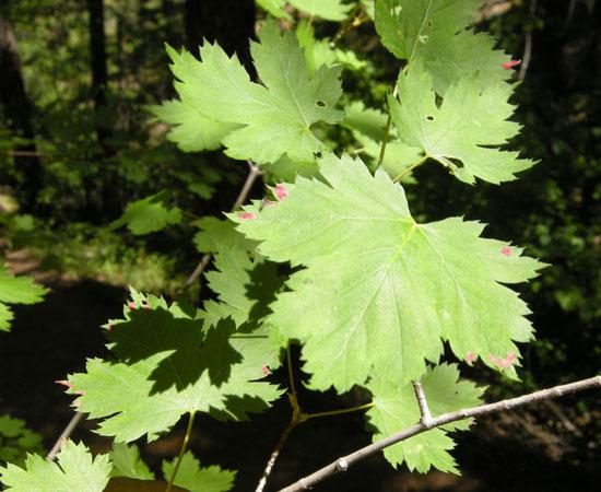 Maple,-Rocky-Mountain-Foliage