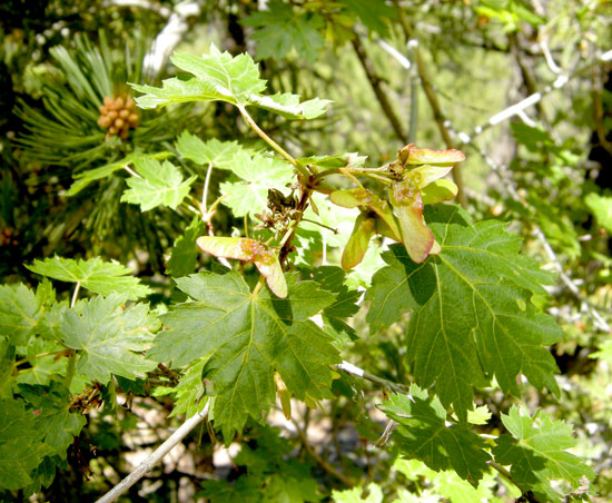 Maple,-Rocky-Mtn-Foliage-and-seeds