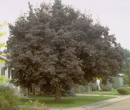 Maple,-Schwedler