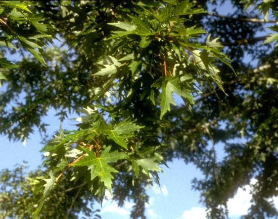 Maple,-Silver--Leaf