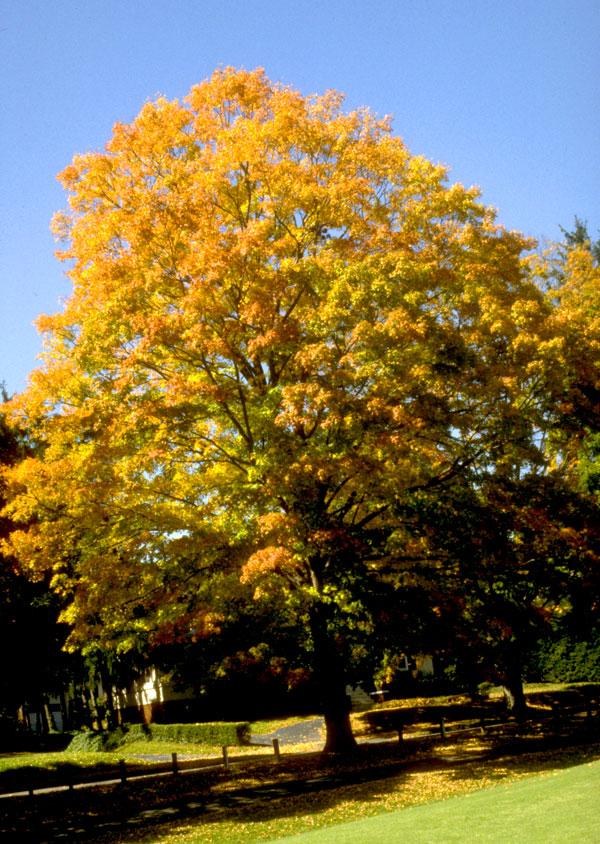 Maple,-Sugar-Autumn